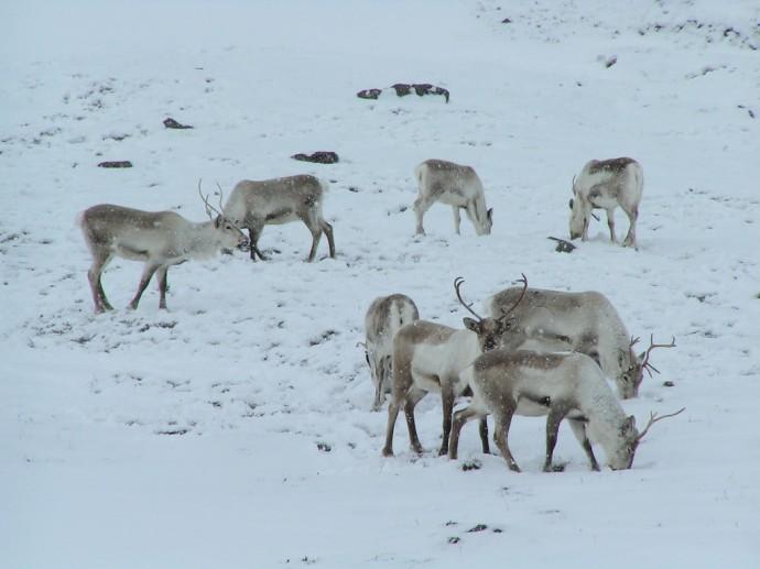 최근 지구온난화로 순록의 생활 환경은 악화되어 가고 있다 - Flickr Tristan Ferne 제공